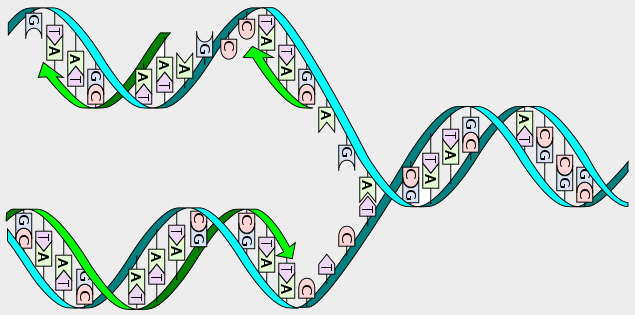 Dna_replication_lizenzfrei_-_Kopie